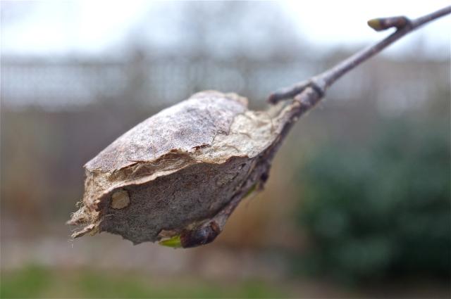 giant-silk-moth-caterpillar-cocoon.jpg
